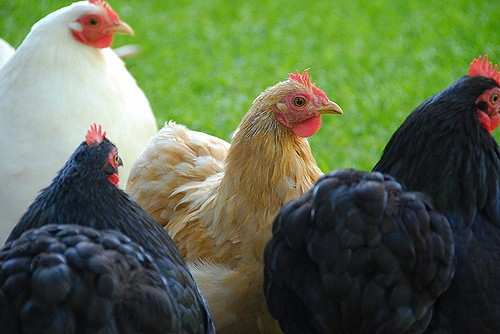 Avian Influenza: Protect Your Flocks