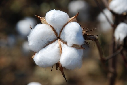 Pierce County Cotton